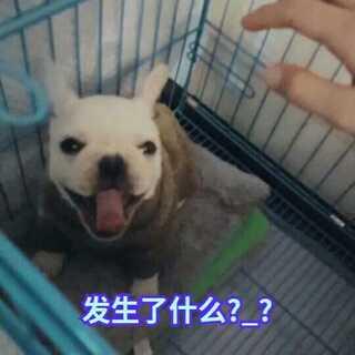 #宠物##法斗#@小冰 @乐乐LOVE🙏 @白俊怡_持刀灭婊 @心悦~🦄 @Liar栀虞 @白眼先生JaySin @白眼先生要保持围笑 哥哥家的狗狗,叫虎妞,3万元1只呢!