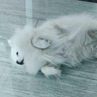 你会不会有一点太懒了😂#博美##宠物##我要上热门#@小冰