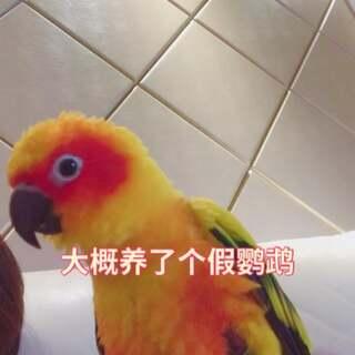我大概养了个假鹦鹉,哆来咪总是咕咕咕的跟鸽子一样叫法 😂😂😂我家就她这样咕咕咕 😂#宠物##独特萌宠##金太阳鹦鹉#