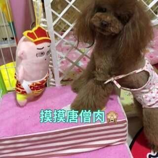 #汪星人##宠物#摸摸唐僧肉????