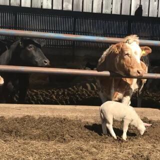 小黑牛,不想被拍就直说,摇什么头🤔#英国##我的英国农场产品##英国牛##英国农场#