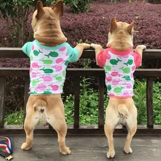 哈哈哈 着傻狗#宠物##法斗##我家法斗叫儿子#